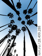 Купить «California Palm trees view from below in Santa Barbara US», фото № 28499288, снято 23 апреля 2013 г. (c) Ingram Publishing / Фотобанк Лори
