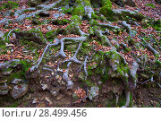 Купить «Autumn beech tree forest roots in Pyrenees Valle de Ordesa Huesca Spain», фото № 28499456, снято 2 ноября 2013 г. (c) Ingram Publishing / Фотобанк Лори