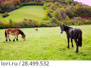 Купить «Horses and cows grazing in Pyrenees green autumn meadows at Spain», фото № 28499532, снято 3 ноября 2013 г. (c) Ingram Publishing / Фотобанк Лори