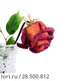 Купить «Dried red rose in vase on a white background», фото № 28500812, снято 8 октября 2013 г. (c) Ingram Publishing / Фотобанк Лори