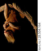 Hoffmann's two-toed sloth (Choloepus hoffmanni) hanging from branch at night, Tambopata, Madre de Dios, Peru. Стоковое фото, фотограф Lucas Bustamante / Nature Picture Library / Фотобанк Лори
