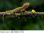 Купить «Blue-spotted dwarf iguana (Enyalioides praestabilis) on branch, Sumaco, Napo, Ecuador.», фото № 28504172, снято 21 августа 2019 г. (c) Nature Picture Library / Фотобанк Лори