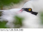 Купить «Nazca booby (Sula granti) resting, Genovesa Island, Galapagos.», фото № 28504340, снято 21 июня 2018 г. (c) Nature Picture Library / Фотобанк Лори