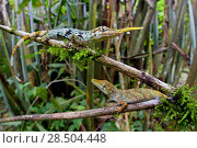 Купить «Pinocchio lizard / Ecuadorian horned anole (Anolis proboscis) pair, male on higher branch, Mindo, Pichincha, Ecuador, Endangered species.», фото № 28504448, снято 18 октября 2019 г. (c) Nature Picture Library / Фотобанк Лори