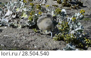 Купить «Brown Skua chick in grass», видеоролик № 28504540, снято 5 февраля 2018 г. (c) Vladimir / Фотобанк Лори