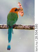 Купить «Broad-billed motmot (Electron platyrhynchum) perched on branch with moth in its beak, Mashpi, Pichincha, Ecuador.», фото № 28504580, снято 18 октября 2019 г. (c) Nature Picture Library / Фотобанк Лори
