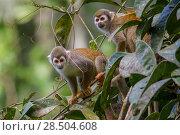 Купить «Two Common squirrel monkeys (Saimiri sciureus) amongst vegetation, Yasuni National Park, Orellana, Ecuador.», фото № 28504608, снято 20 ноября 2019 г. (c) Nature Picture Library / Фотобанк Лори