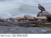Купить «Male Torrent duck (Merganetta armata) standing on rock in river, Guango, Napo, Ecuador.», фото № 28504620, снято 18 октября 2019 г. (c) Nature Picture Library / Фотобанк Лори