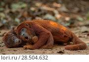 Купить «Two Red howler monkeys (Alouatta seniculus) lying on ground, Tambopata, Madre de Dios, Peru.», фото № 28504632, снято 20 ноября 2019 г. (c) Nature Picture Library / Фотобанк Лори