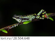 Купить «Pebas stubfoot toad / Harlequin toad (Atelopus spumarius) stretching on branch, Yasuni National Park, Orellana, Ecuador, Vulnerable Species.», фото № 28504648, снято 18 октября 2019 г. (c) Nature Picture Library / Фотобанк Лори