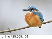 Купить «Eurasian Kingfisher ( Alcedo atthis ), male in winter, resting on a branch, fluffed up to keep warm, wildlife, Europe.», фото № 28508404, снято 17 марта 2018 г. (c) age Fotostock / Фотобанк Лори