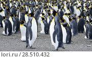 Купить «King Penguins at South Georgia», видеоролик № 28510432, снято 18 января 2018 г. (c) Vladimir / Фотобанк Лори