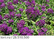 Купить «Алиссум (лат. Alyssum), или Лобулярия  (лат. Lobularia) цветет в саду», фото № 28510500, снято 2 июня 2018 г. (c) Елена Коромыслова / Фотобанк Лори
