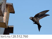 Купить «Common swift  (Apus apus) flying to a nest box attached to the eaves of a cottage with a feather and straw in its beak to build its nest with, Hilperton, Wiltshire, UK, May 2018.», фото № 28512760, снято 17 августа 2018 г. (c) Nature Picture Library / Фотобанк Лори