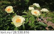 Купить «Пион межвидовой гибрид Лемон Шиффон. Herbaceous Peonies 'Lemon Chiffon' in flower», видеоролик № 28530816, снято 3 июня 2018 г. (c) Ольга Сейфутдинова / Фотобанк Лори