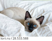 Купить «Young cat, kitten of Siam  oriental breed, bobtail Mekong, lies on bed», фото № 28533588, снято 10 апреля 2017 г. (c) Куликов Константин / Фотобанк Лори