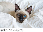 Купить «Young cat, kitten of Siam  oriental breed, bobtail Mekong, lies on bed», фото № 28533592, снято 10 апреля 2017 г. (c) Куликов Константин / Фотобанк Лори