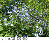 Купить «Blossoming forget-me-nots or scorpion grasses (Myosotis) in the field», фото № 28533680, снято 4 июня 2017 г. (c) Куликов Константин / Фотобанк Лори