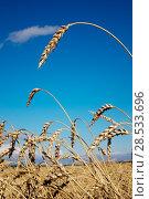 Купить «Wheat ears under the blue sky», фото № 28533696, снято 20 августа 2016 г. (c) Куликов Константин / Фотобанк Лори