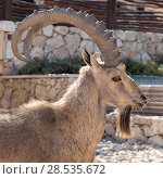 Купить «Close-up of Nubian Ibex (Capra nubiana) in desert, Makhtesh Ramon, Negev Desert, Israel», фото № 28535672, снято 1 января 2017 г. (c) Ingram Publishing / Фотобанк Лори