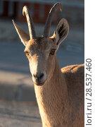 Купить «Close-up of Nubian Ibex (Capra nubiana) in desert, Makhtesh Ramon, Negev Desert, Israel», фото № 28537460, снято 31 декабря 2016 г. (c) Ingram Publishing / Фотобанк Лори