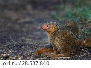 Купить «Dwarf mongoose (Helogale parvula). watching alert  Masai Mara National Reserve, Kenya.», фото № 28537840, снято 14 декабря 2019 г. (c) Nature Picture Library / Фотобанк Лори
