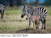 Купить «Common or Plains zebra  (Equus quagga burchellii) female and foal, Masai Mara National Reserve, Kenya.», фото № 28537924, снято 27 марта 2019 г. (c) Nature Picture Library / Фотобанк Лори