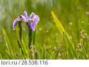 Купить «Blue flag iris (Iris versicolor) in flower, New Brunswick, Canada, June.», фото № 28538116, снято 18 июля 2018 г. (c) Nature Picture Library / Фотобанк Лори