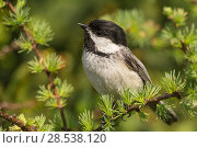Купить «Black capped chickadee (Poecile atricapillus) portrait, Anchorage Provincial Park, Grand Manan Island, New Brunswick, Canada, June.», фото № 28538120, снято 17 августа 2018 г. (c) Nature Picture Library / Фотобанк Лори