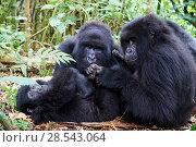 Купить «Mountain gorillas (Gorilla gorilla beringei) grooming, members of the Munyaga group, Virunga National Park, North Kivu, Democratic Republic of Congo, Africa, Critically endangered.», фото № 28543064, снято 21 марта 2019 г. (c) Nature Picture Library / Фотобанк Лори