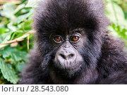 Купить «Mountain gorilla (Gorilla beringei beringei) baby, portrait, member of the Humba group, Virunga National Park, North Kivu, Democratic Republic of Congo, Africa, Critically endangered.», фото № 28543080, снято 21 марта 2019 г. (c) Nature Picture Library / Фотобанк Лори