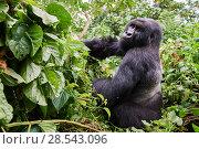Купить «Mountain gorilla (Gorilla beringei beringei) silverback male, ember of the Kabirizi group, Virunga National Park, North Kivu, Democratic Republic of Congo, Africa, Critically endangered.», фото № 28543096, снято 21 марта 2019 г. (c) Nature Picture Library / Фотобанк Лори