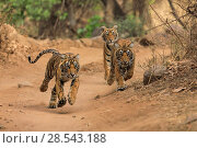 Купить «Three Bengal tiger (Panthera tigris) cubs running after their mother,  Ranthambhore, India, Endangered species.», фото № 28543188, снято 19 августа 2018 г. (c) Nature Picture Library / Фотобанк Лори