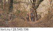 Купить «Bengal tiger (Panthera tigris) female with three cubs, Ranthambhore, India, Endangered species.», фото № 28543196, снято 20 июля 2018 г. (c) Nature Picture Library / Фотобанк Лори