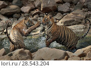 Купить «Bengal tiger (Panthera tigris) two cubs playing in waterhole, Ranthambhore, India, Endangered species.», фото № 28543204, снято 20 июля 2018 г. (c) Nature Picture Library / Фотобанк Лори