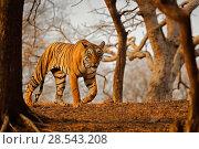Купить «Bengal tiger (Panthera tigris) female 'Arrow-head' on patrol, Ranthambhore, India, Endangered species.», фото № 28543208, снято 22 июля 2018 г. (c) Nature Picture Library / Фотобанк Лори