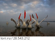 Купить «Dalmatian pelican (Pelecanus crispus) group with wings spread and beaks pointing to the sky, in breeding plumage, Lake Kerkini, Greece, February.», фото № 28543212, снято 14 августа 2018 г. (c) Nature Picture Library / Фотобанк Лори