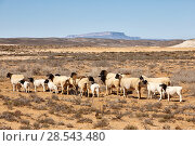 Купить «Dorper sheep, a South African breed of domestic sheep developed by crossing Dorset Horn and the Blackhead Persian sheep. Near Vanrhynsdorp, Western Cape, South Africa», фото № 28543480, снято 16 августа 2018 г. (c) Nature Picture Library / Фотобанк Лори