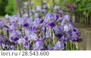 Купить «Цветущие ирисы в саду», видеоролик № 28543600, снято 4 июня 2018 г. (c) Яна Королёва / Фотобанк Лори
