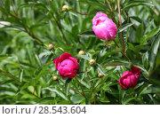Купить «Розовые пионы расцветают в саду», фото № 28543604, снято 5 июня 2018 г. (c) Яна Королёва / Фотобанк Лори