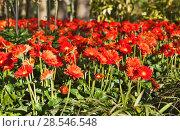 Купить «Красные гербе́ры (Gerbera). Королевский парк цветов Кёкенхоф (Keukenhof). Лиссе. Нидерланды», фото № 28546548, снято 4 мая 2018 г. (c) Сергей Афанасьев / Фотобанк Лори