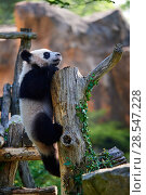 Купить «Giant panda (Ailuropoda melanoleuca) cub climbing and exploring its enclosure. Yuan Meng, first giant panda ever born in France,  age 10 months, Captive at Beauval Zoo, Saint Aignan sur Cher, France», фото № 28547228, снято 25 сентября 2018 г. (c) Nature Picture Library / Фотобанк Лори