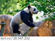 Купить «Giant panda (Ailuropoda melanoleuca) cub climbing and exploring its enclosure. Yuan Meng, first giant panda ever born in France,  age 10 months, Captive at Beauval Zoo, Saint Aignan sur Cher, France», фото № 28547232, снято 25 июня 2018 г. (c) Nature Picture Library / Фотобанк Лори