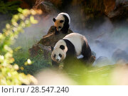 Купить «Giant panda  (Ailuropoda melanoleuca) Huan Huan and her cub out in their enclosure in mist.Yuan Meng, first giant panda ever born in France,age 10 months...», фото № 28547240, снято 25 июня 2018 г. (c) Nature Picture Library / Фотобанк Лори