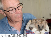Купить «Man inspecting a Hedgehog (Erinaceus europaeus) caught in his garden for Hedgehog ticks (Ixodes hexagonus) Chippenham, Wiltshire, UK, August 2017. Property and model released.», фото № 28547508, снято 20 мая 2019 г. (c) Nature Picture Library / Фотобанк Лори
