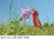 Купить «Small elephant hawk-moth (Deilephila porcellus) on Common spotted orchid (Dactylorhiza fuchsii) Wiltshire, UK, May.», фото № 28547536, снято 22 июля 2018 г. (c) Nature Picture Library / Фотобанк Лори