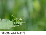 Купить «Speckled bush cricket (Leptophyes punctatissima) nymph standing on a leaf, Wiltshire, UK, July.», фото № 28547540, снято 17 августа 2018 г. (c) Nature Picture Library / Фотобанк Лори