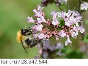 Купить «Common carder bumblebee (Bombus pascuorum) nectaring on Wild marjoram (Origanum vulgare) flowerhead, Wiltshire, UK, August.», фото № 28547544, снято 19 июня 2018 г. (c) Nature Picture Library / Фотобанк Лори