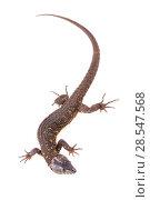 Купить «Yellow-spotted tropical night lizard (Lepidophyma flavimaculatum) from La Selva Biological Station, Costa Rica. Controlled conditions.», фото № 28547568, снято 11 декабря 2019 г. (c) Nature Picture Library / Фотобанк Лори