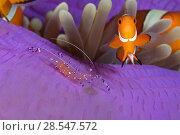 Купить «False clownfish (Amphiprion ocellaris) and a Commensal shrimp (Periclimenes / Ancylomenes tosaensis) in a Sea anemone (Heteractis magnifica) Lighthouse...», фото № 28547572, снято 19 июля 2018 г. (c) Nature Picture Library / Фотобанк Лори